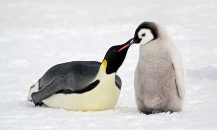 Penguins The Flightless Bird Baby Animal Zoo