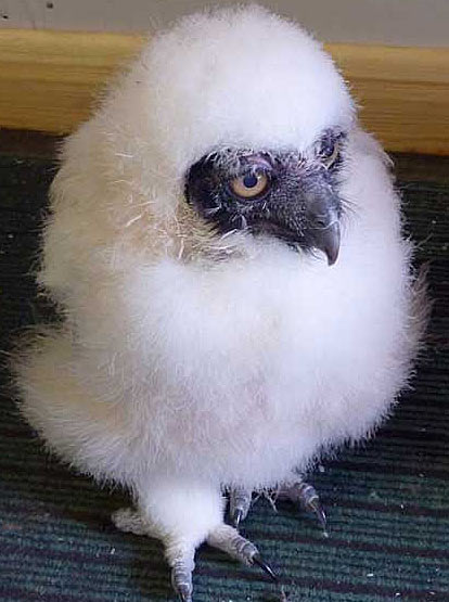 spectacled-owl-chick-3-weeks-old