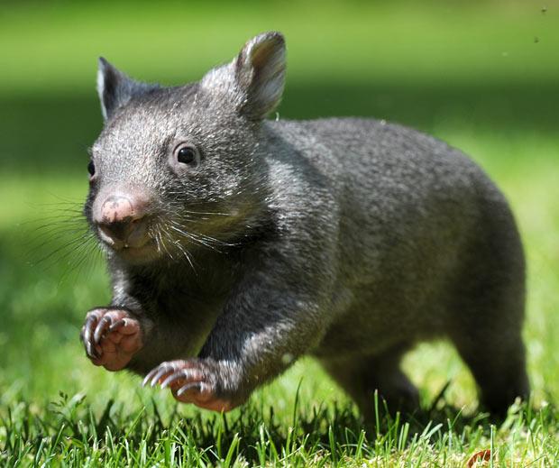 wombat-baby-cute   Baby Animal - 64.9KB