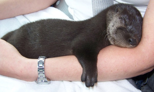 Baby Otters One Of The Cutest Creatures On Land And Sea Baby