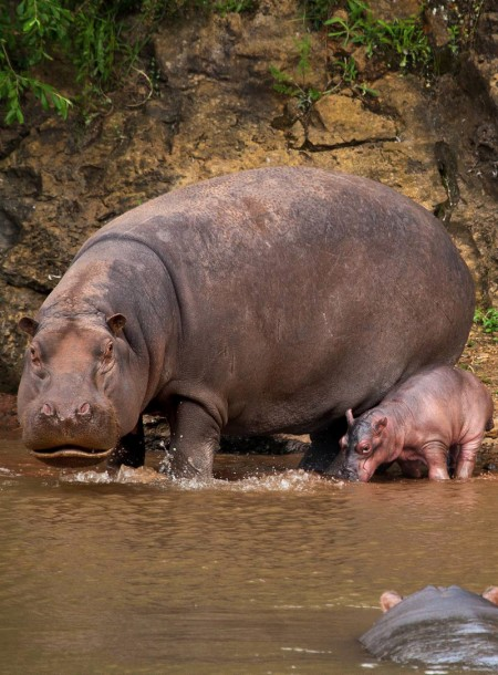Piglets Care: Baby Hippo Hides Behind Its Mom