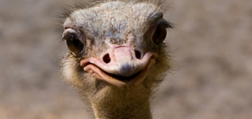 baby-ostrich-pic