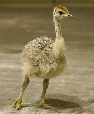 Baby Ostriches for Sale  Birds Now