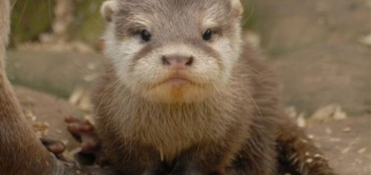 baby-otter-pictures