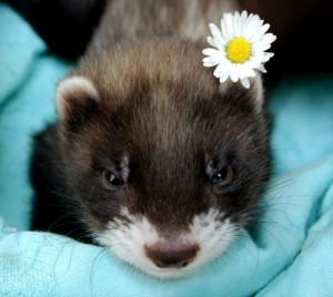 Cute Baby Ferret Pic Flower Baby Animal Zoo