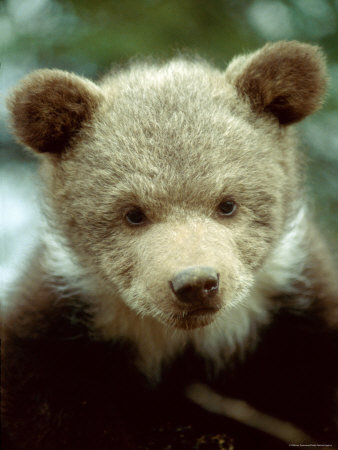 Gallery For gt Baby Grizzly Bear Cubs