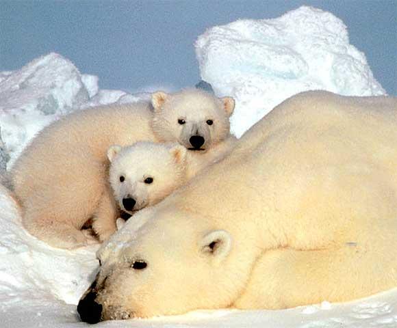 Polar Bear Cubs Baby Animal Zoo