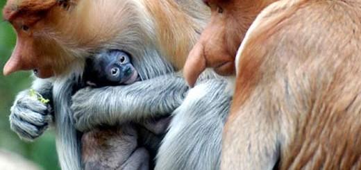 proboscis-family