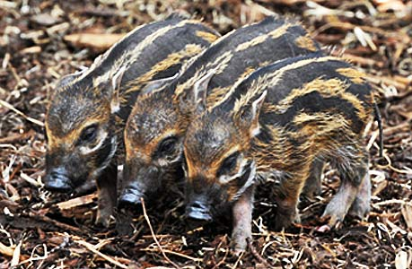 Red River Hog Piglets Baby Animal Zoo