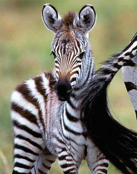 Zebra Foals Baby Animal Zoo