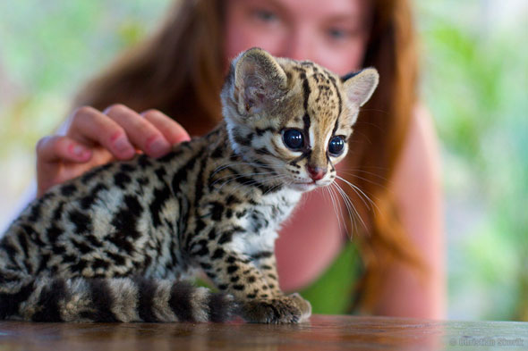 Wild ocelot kittens - photo#6