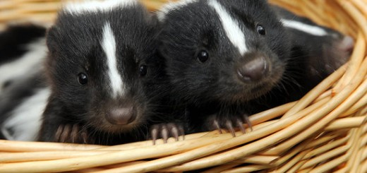 Pictures-Baby-Skunks