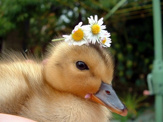 Ducklings Will Follow Anyone