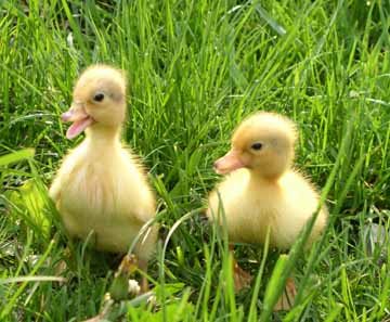 Yellow ducklings breed - photo#48