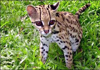 Wild ocelot kittens - photo#21