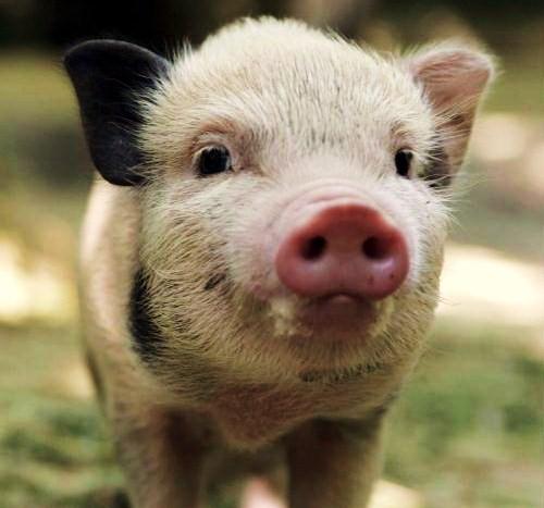 顔を近づける子豚