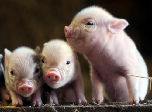 Cute Piglets Names Piglets Are as Cute as You