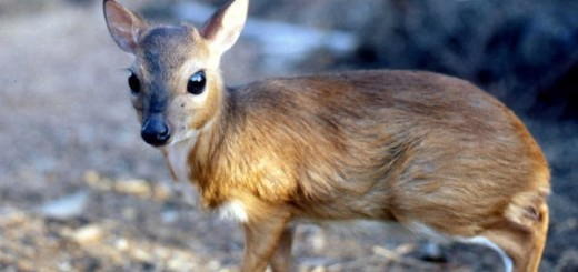 baby-royal-antelope-picture