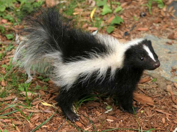 They May Stink But Baby Skunks Are Still Cute Baby