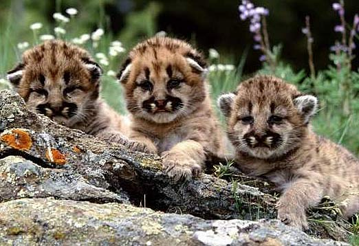 By Photo Congress || Liger Cubs White