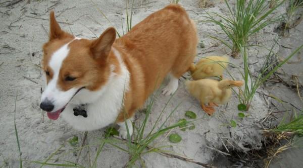 Ducklings Will Follow Anyone Baby Animal Zoo