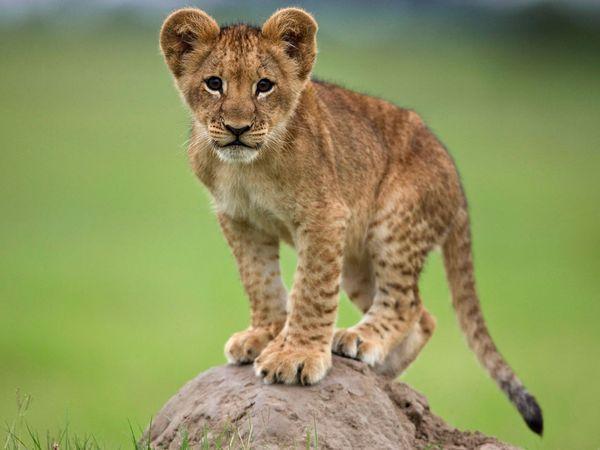 lion-cub-cute | Baby Animal Zoo