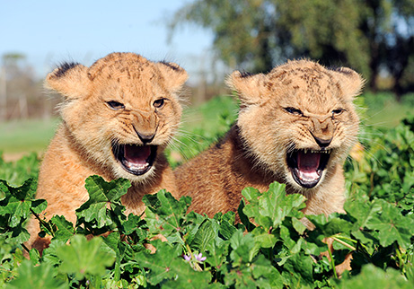 Lion Cubs The King Of The Jungle Starts Out As A Little Prince