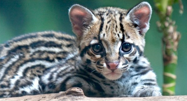Ocelot Kitten Baby Animal Zoo