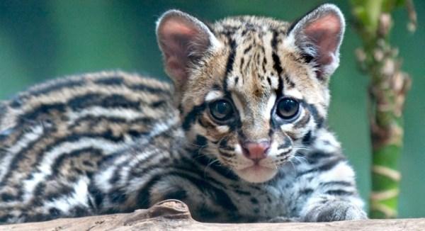 Wild ocelot kittens - photo#12