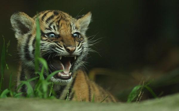 Sumatran Tiger Cubs Baby Animal Zoo