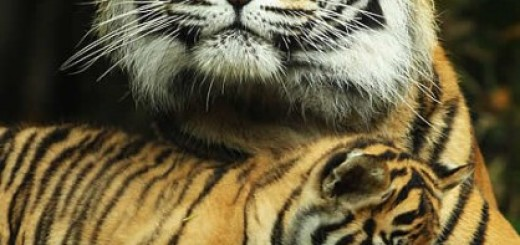 tiger-cub-triplets-born-in-sydney-zoo