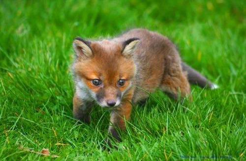 baby-fox.jpg