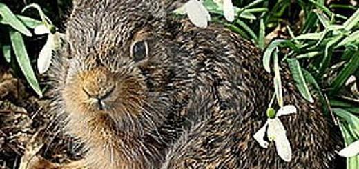 baby-hare