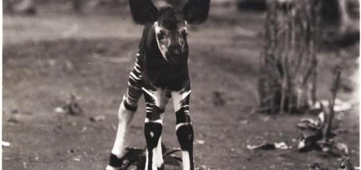 baby-okapi-picture