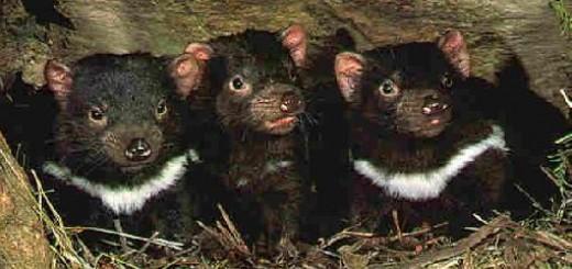 baby-tasmanian-devils