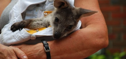 baby-wallaby-cute