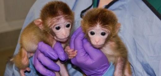 chimeric-rhesus-monkey-babies