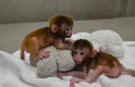 Generation of Chimeric Rhesus Monkeys