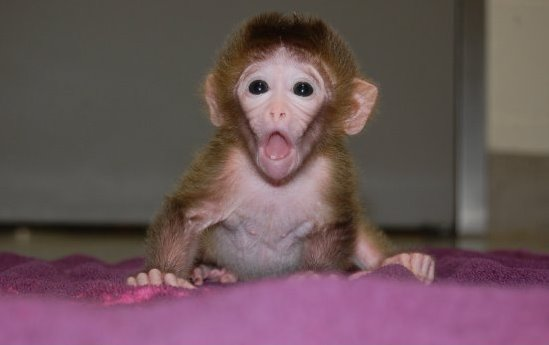 http://www.babyanimalzoo.com/wp-content/uploads/2012/01/chimeric-rhesus-monkey-baby-pictures.jpg