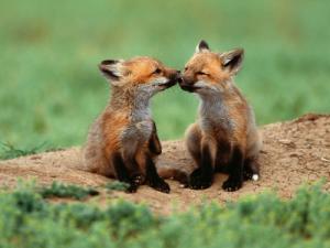 fox-babies-cubs
