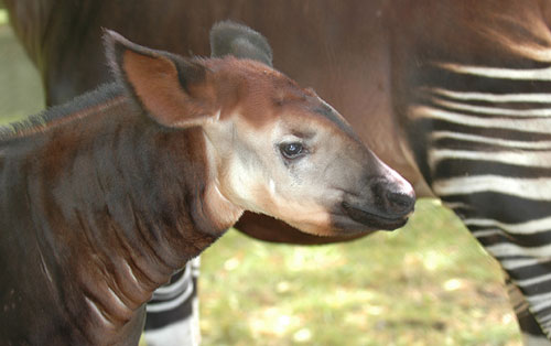 Okapis They Re Real And They Re Cute Baby Animal Zoo