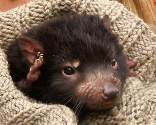 Tasmanian Devils Are Dangerous But Devilishly Cute Baby