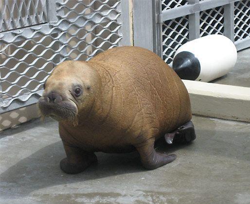 Baby Walruses no Tusks