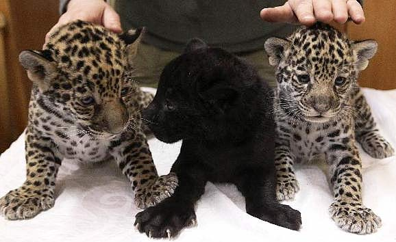 Baby panther cubs - photo#27