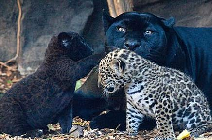 Jaguar Cubs Black Or Spotted Baby Animal Zoo
