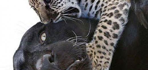 mom-jaguar-blank-panther