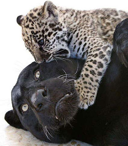 Jaguar Cubs – Black or Spotted | Baby Animal Zoo - photo#29