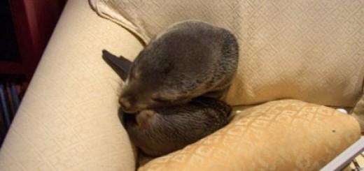 baby-seal-break-in