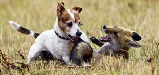 fox-and-terrier-friends-cute