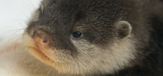otters-cute-babies
